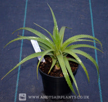 Load image into Gallery viewer, Aechmea recurvata var. nobilis Plant for Sale - Andy's Air Plants