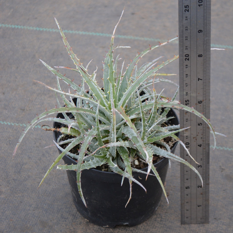Hechtia texensis - Andy's Air Plants