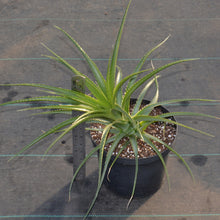 Load image into Gallery viewer, Ochagavia carnea - Andy's Air Plants