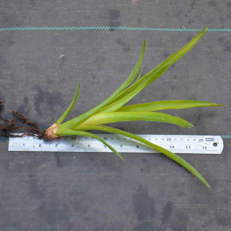 Quesnelia imbricata - Andy's Air Plants