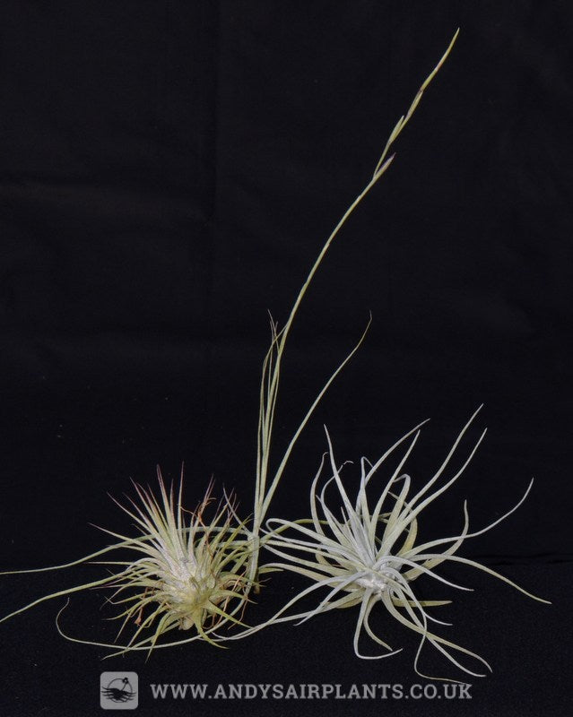 Beginners Selection Pack 1 - Andy's Air Plants