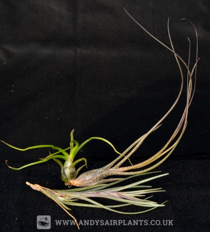 Beginners Selection Pack number 2 - Andy's Air Plants