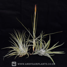 Load image into Gallery viewer, Beginners Selection Pack number 3 - Andy's Air Plants
