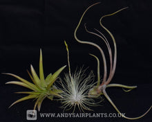 Load image into Gallery viewer, Beginners Selection Pack number 4 - Andy's Air Plants