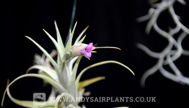 Tillandsia nana - Andy's Air Plants