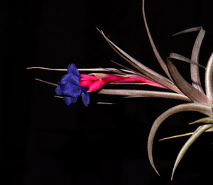Tillandsia jonesii - Andy's Air Plants