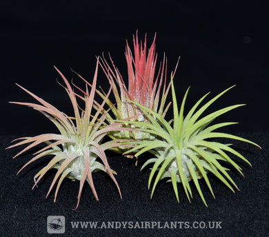 Tillandsia ionantha 3 Pack - Andy's Air Plants