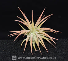 Load image into Gallery viewer, Tillandsia ionantha v. Rubra Peach - Andy's Air Plants