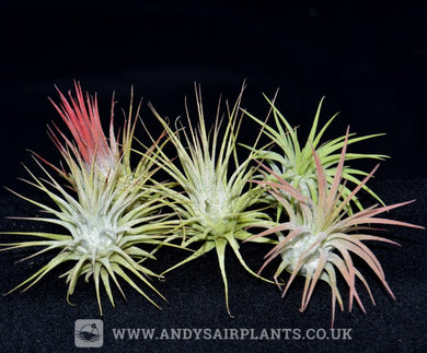 Tillandsia ionantha 5 Pack - Andy's Air Plants