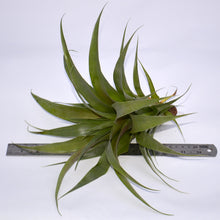 Load image into Gallery viewer, Tillandsia 'Samantha' - Andy's Air Plants
