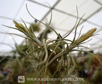Tillandsia lepidosepala - Andy's Air Plants