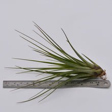 Load image into Gallery viewer, Tillandsia tricolor v. melanocrater