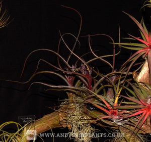 Beginners Selection Pack number 4 - Andy's Air Plants
