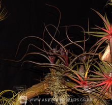 Load image into Gallery viewer, Tillandsia pseudobaileyi - Andy's Air Plants