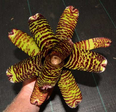 Neoregelia 'Hanniball Lecter' - Andy's Air Plants