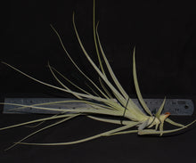 Load image into Gallery viewer, Tillandsia straminea - Andy's Air Plants