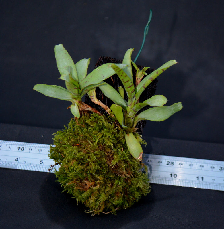 Neoregelia lilliputiana Mounted on Tree fern bark - Andy's Air Plants
