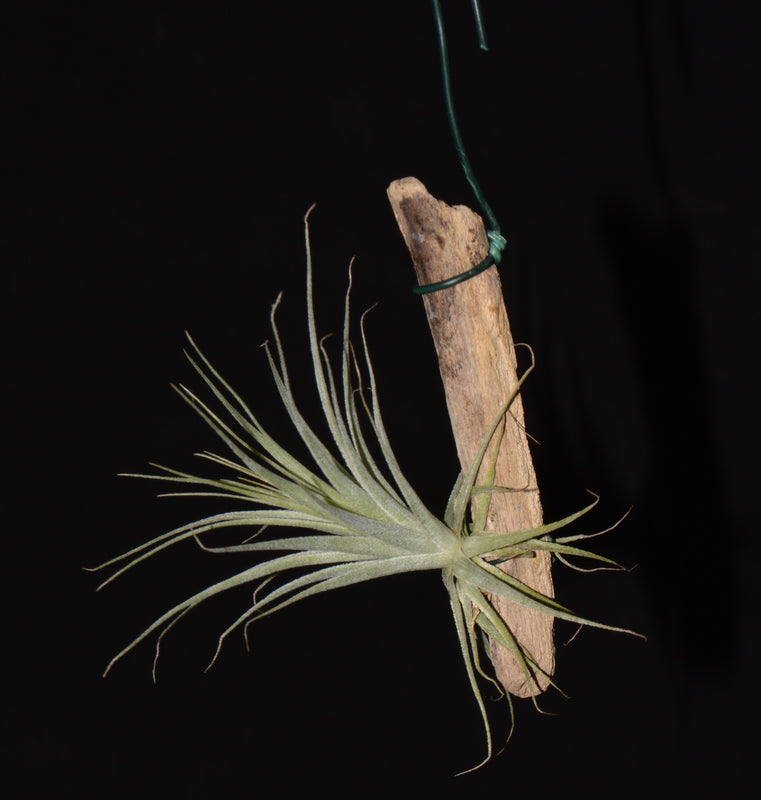 Tillandsia gardneri mounted on drift wood - Andy's Air Plants