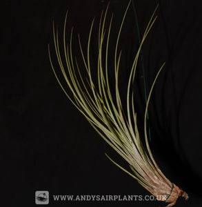 Tillandsia juncea - Andy's Air Plants