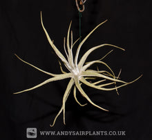 Load image into Gallery viewer, Tillandsia lepidosepala - Andy's Air Plants