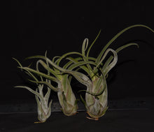 Load image into Gallery viewer, Tillandsia caput-medusae - Andy's Air Plants