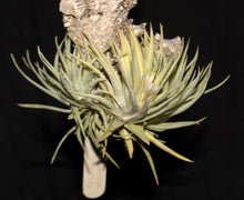 Load image into Gallery viewer, Tillandsia plagiotropica - Andy's Air Plants