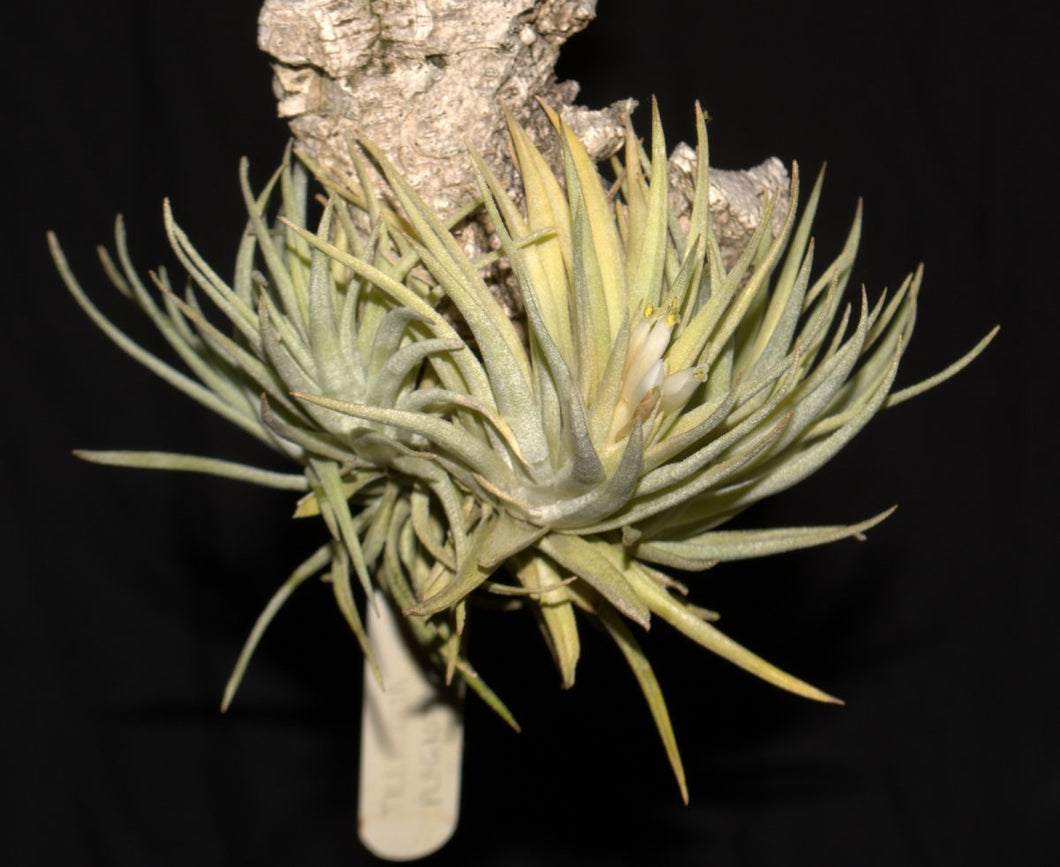Tillandsia plagiotropica - Andy's Air Plants