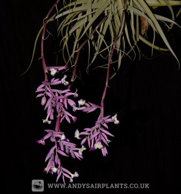Tillandsia straminea - Andy's Air Plants
