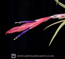 Load image into Gallery viewer, Tillandsia pueblensis - Andy's Air Plants
