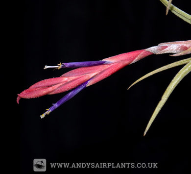 Tillandsia pueblensis - Andy's Air Plants