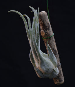 Tillandsia seleriana Mounted on Drift Wood - Andy's Air Plants