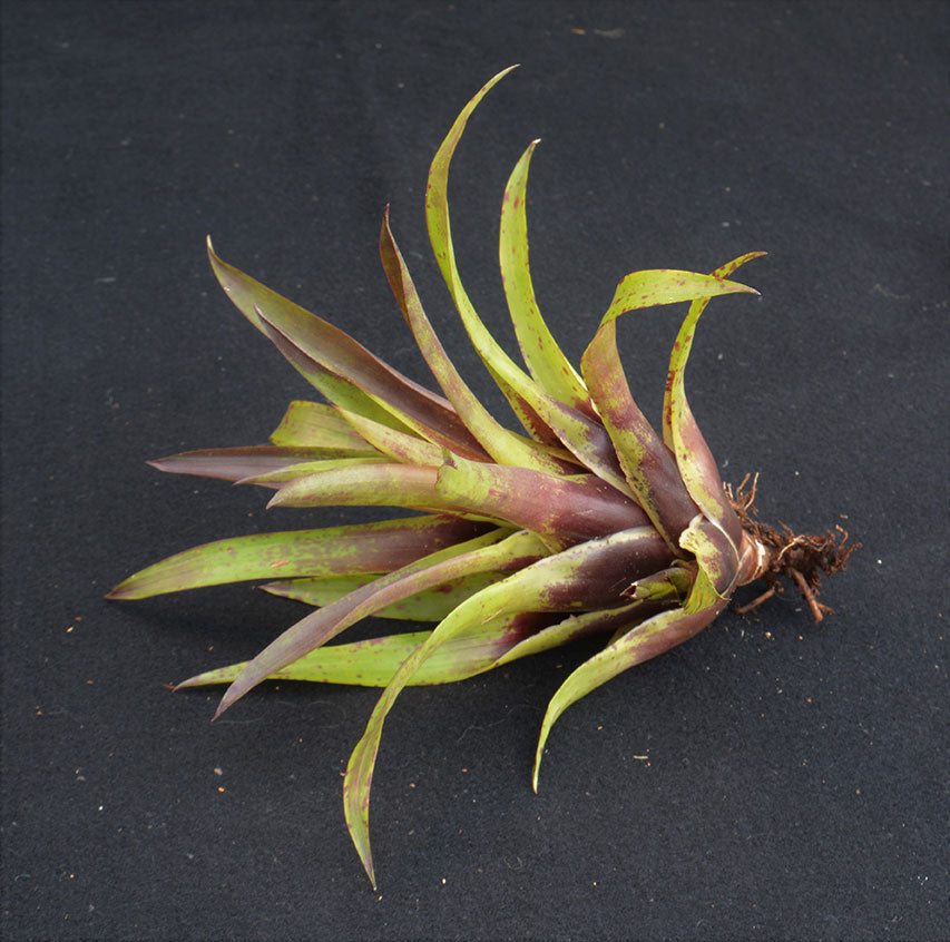 Vriesea lubbersii - Andy's Air Plants