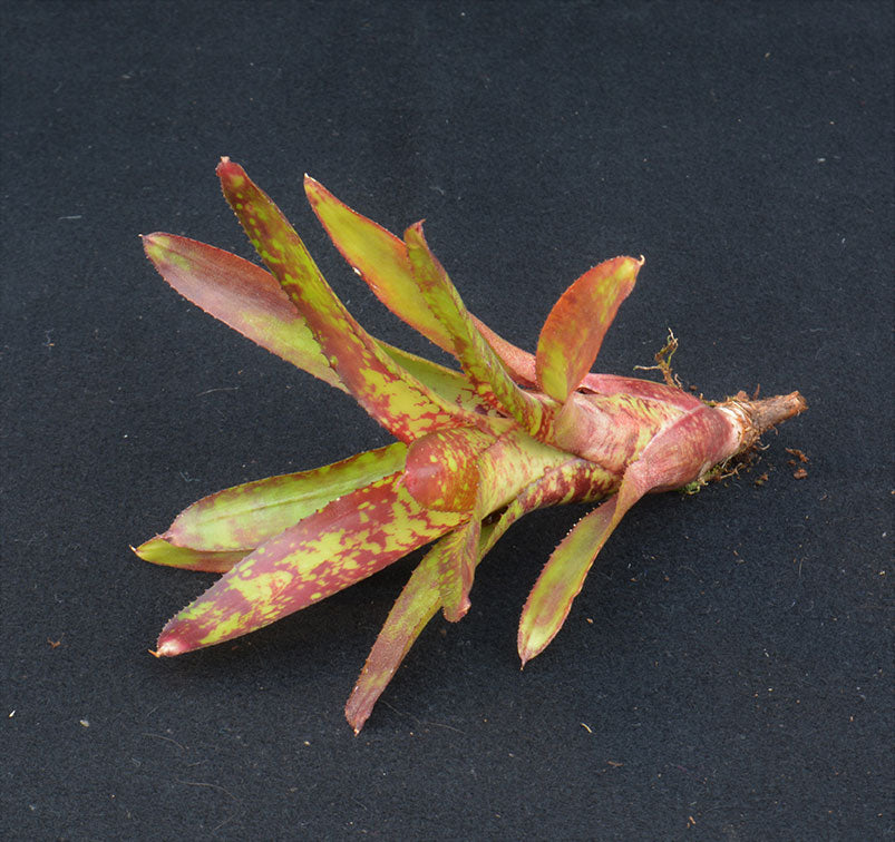 Neoregelia 'Whim' - Andy's Air Plants