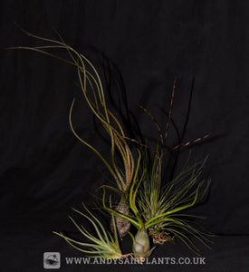 Mesic Selection Pack - Andy's Air Plants