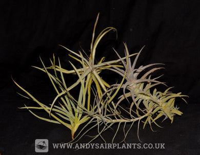Scented Selection Pack - Andy's Air Plants