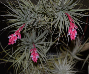 Tillandsia 'Cotton Candy' Clumps - Andy's Air Plants