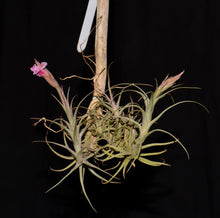 Load image into Gallery viewer, Tillandsia macbrideana - Andy's Air Plants