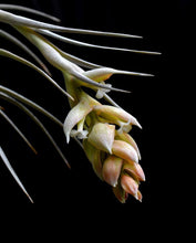 Load image into Gallery viewer, Tillandsia pohliana - Andy's Air Plants