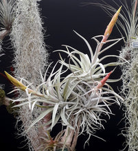 Load image into Gallery viewer, Tillandsia harrisii