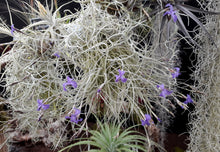 Load image into Gallery viewer, Tillandsia mallemontii