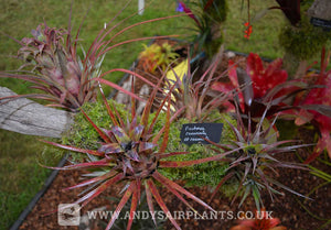 Aechmea recurvata var. recurvata - Andy's Air Plants