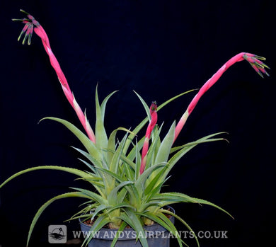 Billbergia nutans 'Rare Form' - Andy's Air Plants
