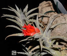 Load image into Gallery viewer, Tillandsia edithae - Andy's Air Plants