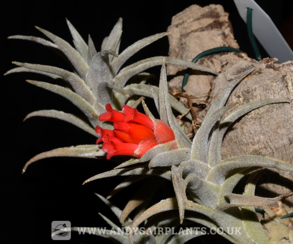 Tillandsia edithae - Andy's Air Plants