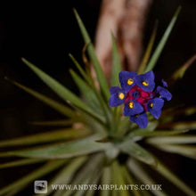 Load image into Gallery viewer, Tillandsia aeranthos - Andy's Air Plants