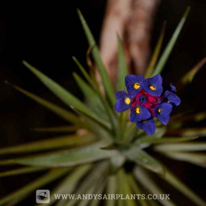 Tillandsia aeranthos - Andy's Air Plants