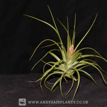 Load image into Gallery viewer, Tillandsia stricta - Andy's Air Plants