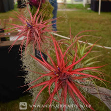 Load image into Gallery viewer, Tillandsia brachycaulos - Andy's Air Plants