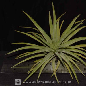 Tillandsia multiflora - Andy's Air Plants