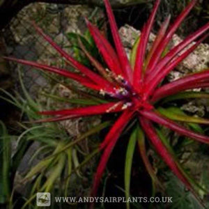Tillandsia multiflora Mounted on drift wood - Andy's Air Plants